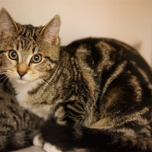 Hanna - Domestic Short Hair Cat