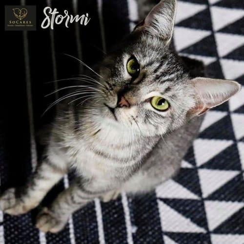 Stormi - Domestic Short Hair Cat