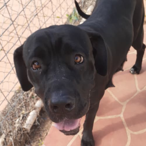 Apache  - Neapolitan Mastiff Dog