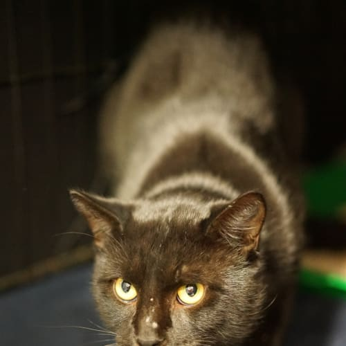 Dexter - Domestic Short Hair Cat