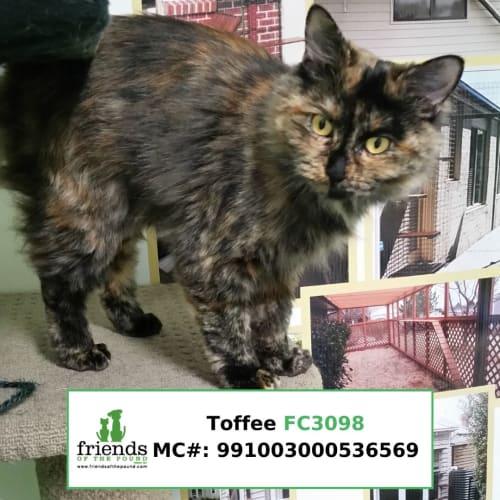 Toffee - Domestic Medium Hair Cat