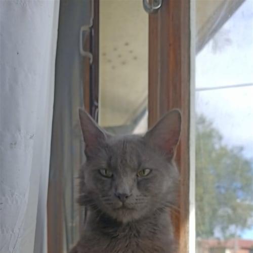 Sebastian - Domestic Medium Hair Cat