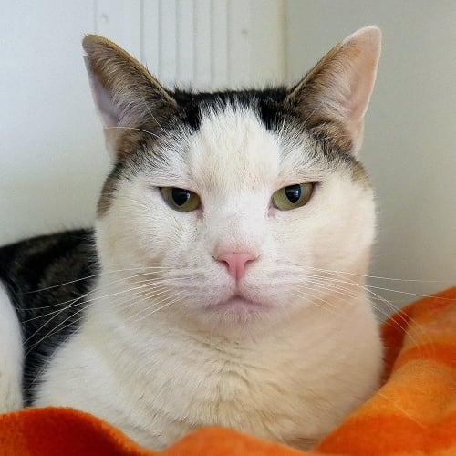 Gus rsta003441 - Domestic Short Hair Cat