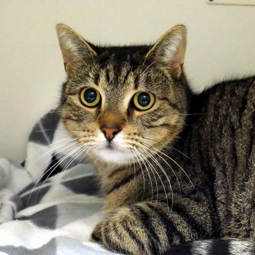 Tiger SUA005370 - Domestic Short Hair Cat