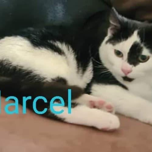 Marcel - Domestic Short Hair Cat