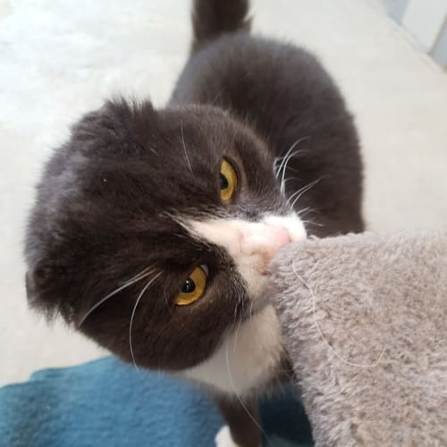 Mittens - Scottish Fold Cat