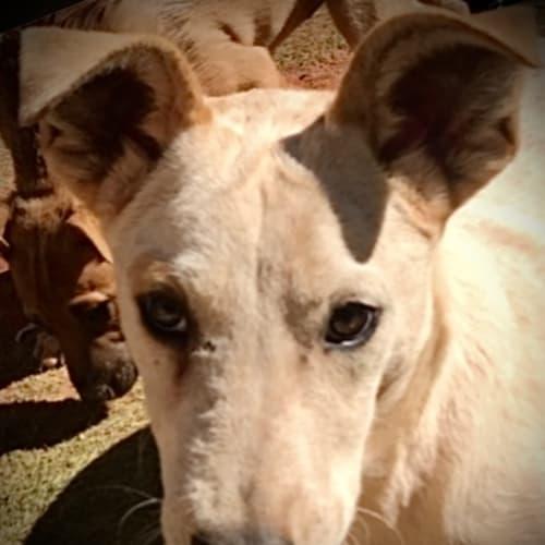 Tony - Mixed Breed Dog