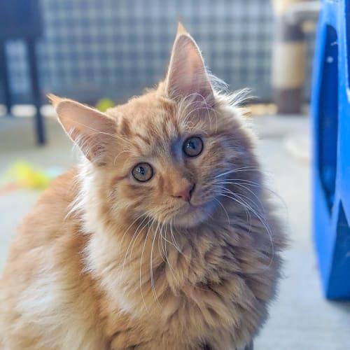 Crookshanks - Domestic Medium Hair Cat