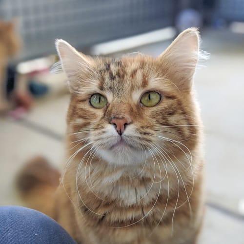 Penrite - Domestic Medium Hair Cat