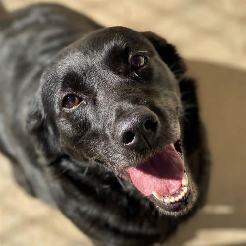 Peppa - Kelpie x Labrador Retriever Dog