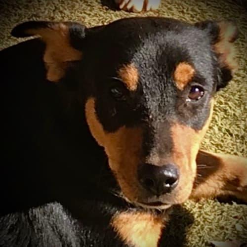 Lady - Canaan Dog (Kelev K'naani) Dog