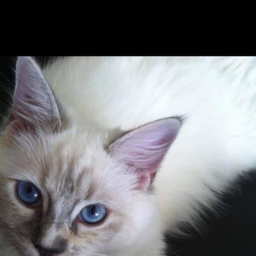 Selina - Ragdoll Cat