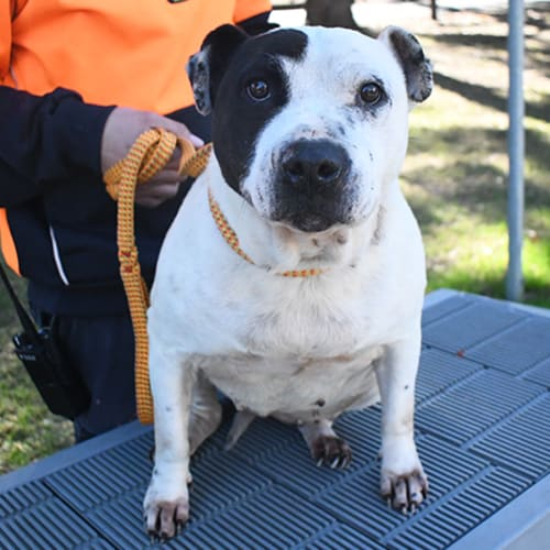 Gam Gam 32775 Campbelltown ACF - Staffordshire Bull Terrier Dog