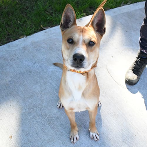 Dingo 32789 Campbelltown ACF - Staffy Dog