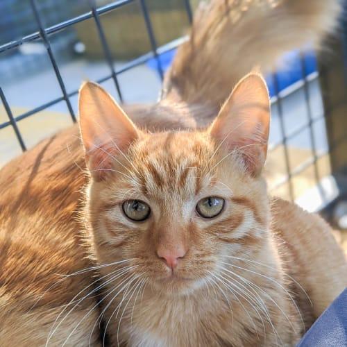 Persimmom - Domestic Short Hair Cat