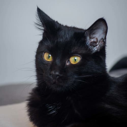Blackie ~ beautiful 3yo black cat - Domestic Short Hair Cat