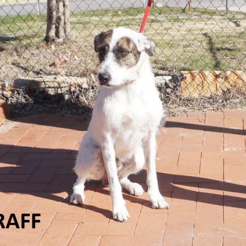 Raff - Staghound Dog