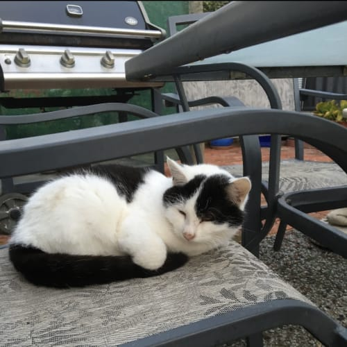 Schmidt - Domestic Short Hair Cat