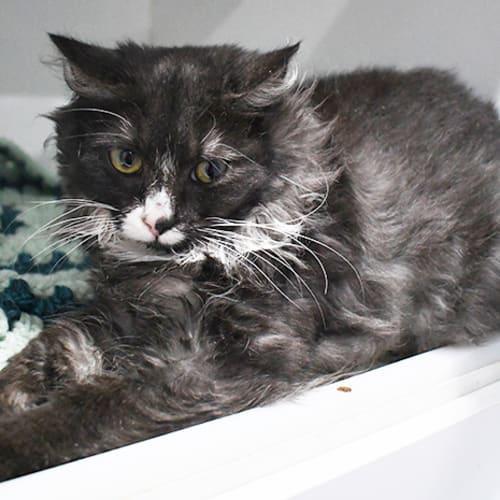Taliah 8609 Campbelltown ACF - Domestic Medium Hair Cat