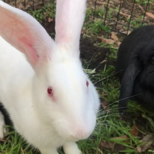 Julius & Starlight - New Zealand White x Dwarf lop Rabbit