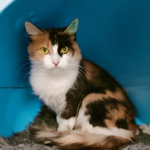 Mindy - Domestic Medium Hair Cat