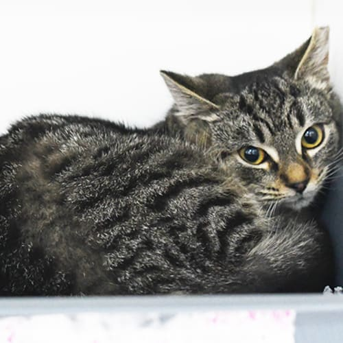 Timmy 8610 Campbelltown ACF - Domestic Short Hair Cat