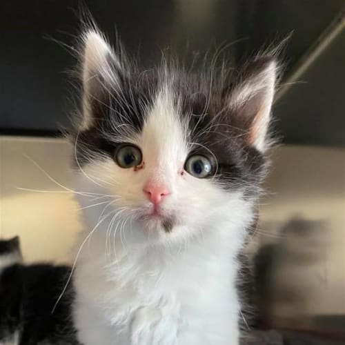 Highland - Domestic Medium Hair Cat