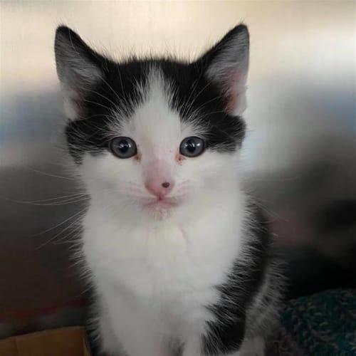 Guernsey - Domestic Short Hair Cat