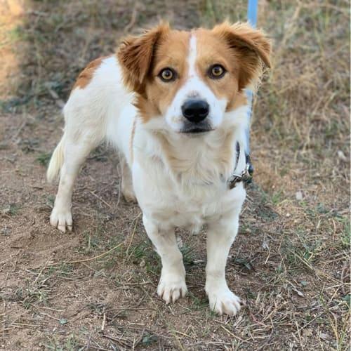 Steve - Jack Russell Terrier Dog