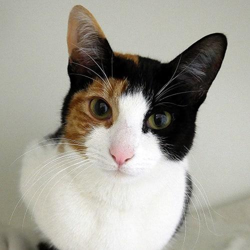 Babbles STA005386 - Domestic Short Hair Cat