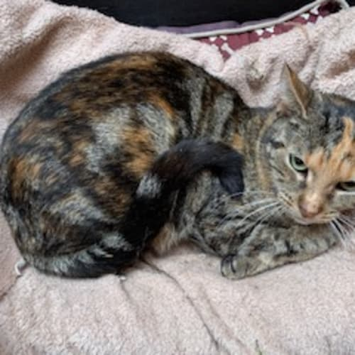 Megs - Domestic Short Hair Cat