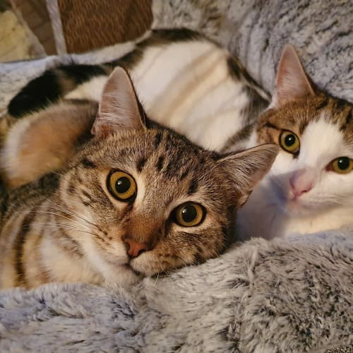 Marshall & Dre (Located in Cheltenham) - Domestic Short Hair Cat