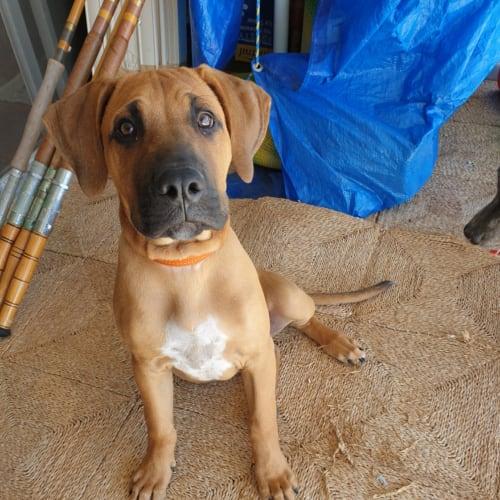 Kovi - American Staffordshire Terrier Dog