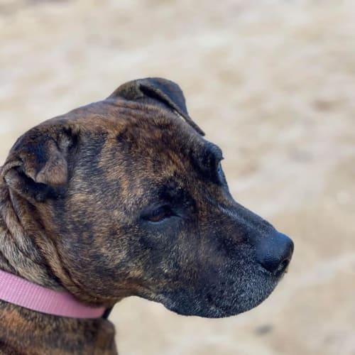 Rosie - Staffy Dog