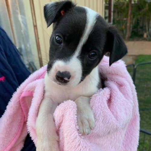 Ezra - Kelpie Dog