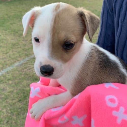 Rosalee - Kelpie Dog