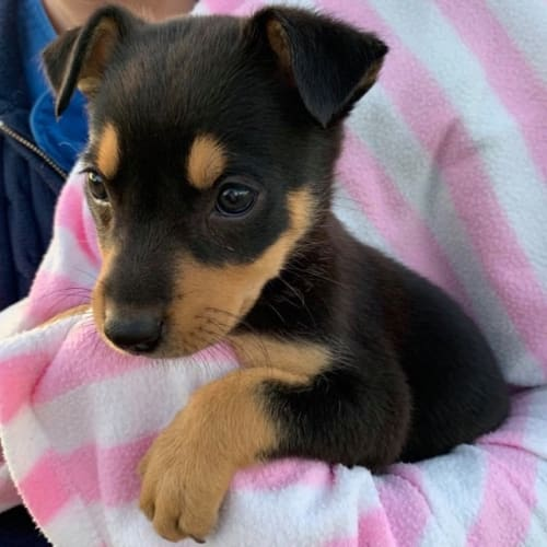 Valentine - Kelpie Dog