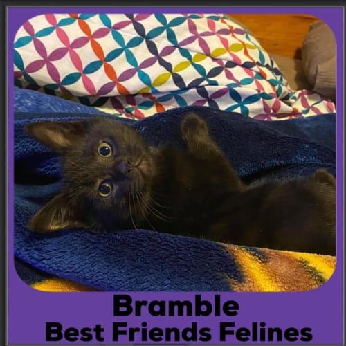 Bramble  - Domestic Short Hair Cat