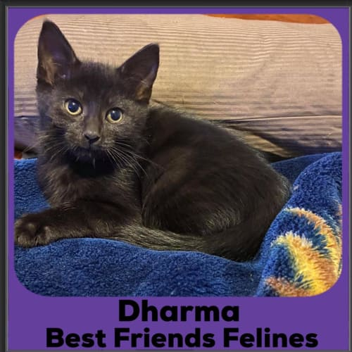 Dharma  - Domestic Short Hair Cat