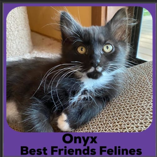 Onyx  - Domestic Medium Hair Cat