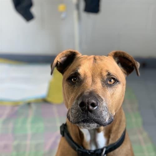 James - Sharpei x Staffordshire Bull Terrier X Dog