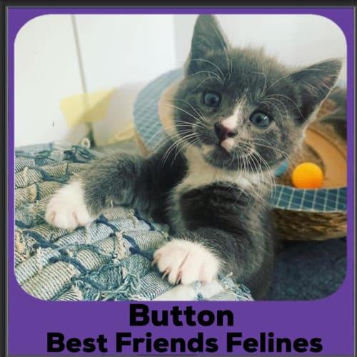 Button  - Domestic Short Hair Cat