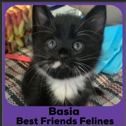 Basia  - Domestic Short Hair Cat