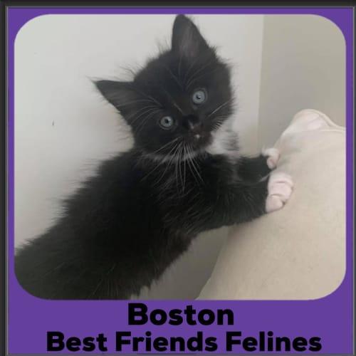 Boston  - Domestic Medium Hair Cat