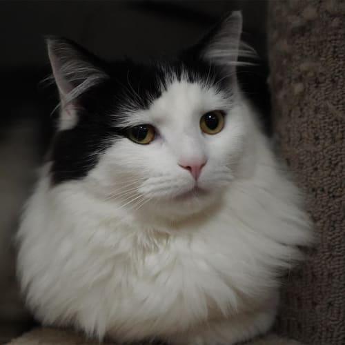 Iggy - Domestic Medium Hair Cat