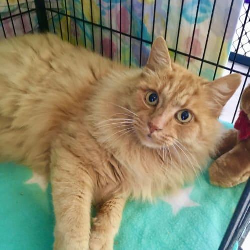 Costa - Domestic Long Hair Cat
