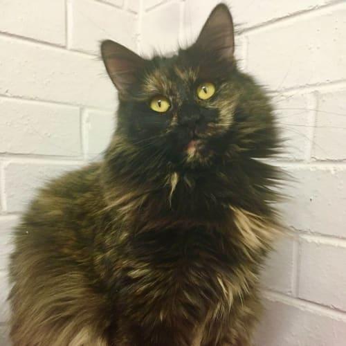 Tessa - Domestic Medium Hair Cat