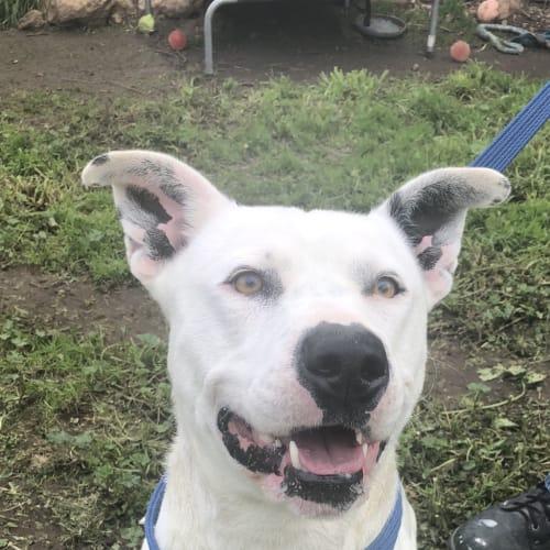 Casper - American Staffordshire Terrier Dog