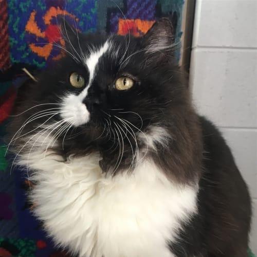 Lionel - Domestic Longhair Cat