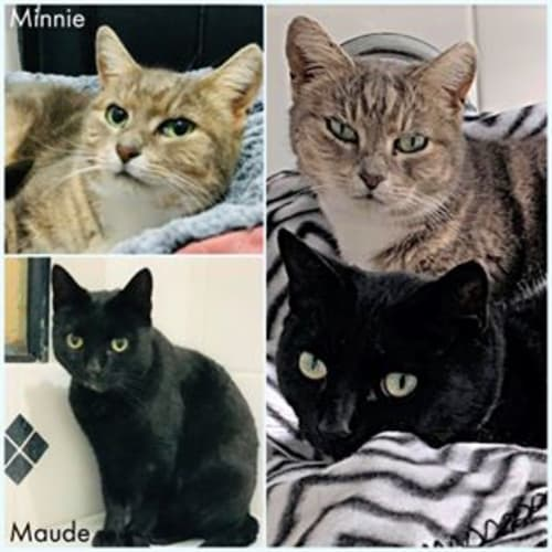3384/3385 - Minnie & Maude - Domestic Short Hair Cat